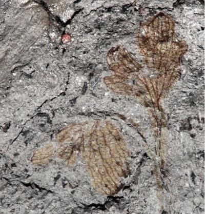 Viện Smithsonian đã công bố hóa thạch được cho là loài hoa có niên đại lớn nhất